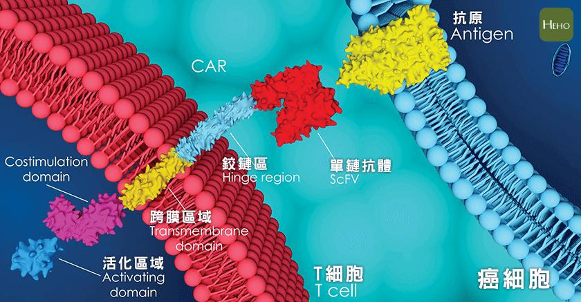 專殺癌細胞的CAR-T免疫療法大解析