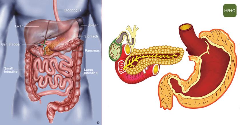 胰臟 胃-01