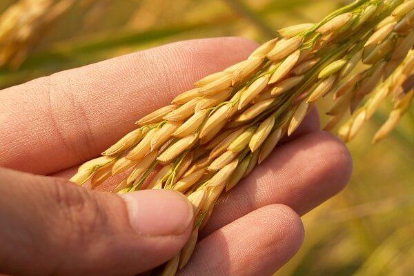 長米蟲怎麼辦?學會這幾招米缸再也不生蟲