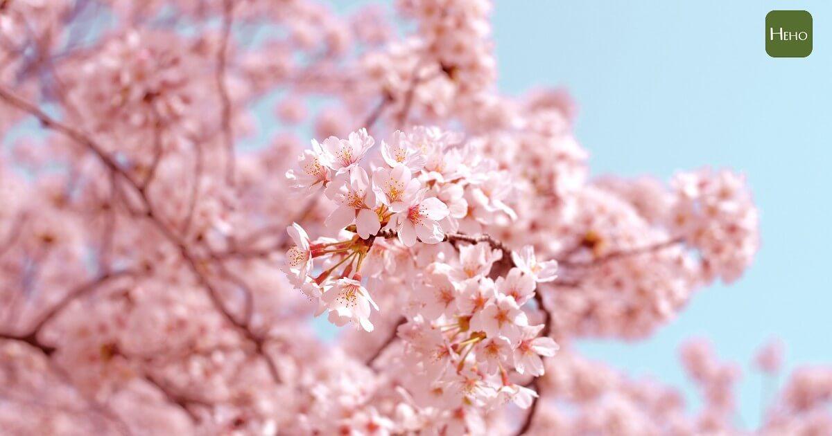 不用到日本也能追櫻花!全台賞櫻聖地大公開