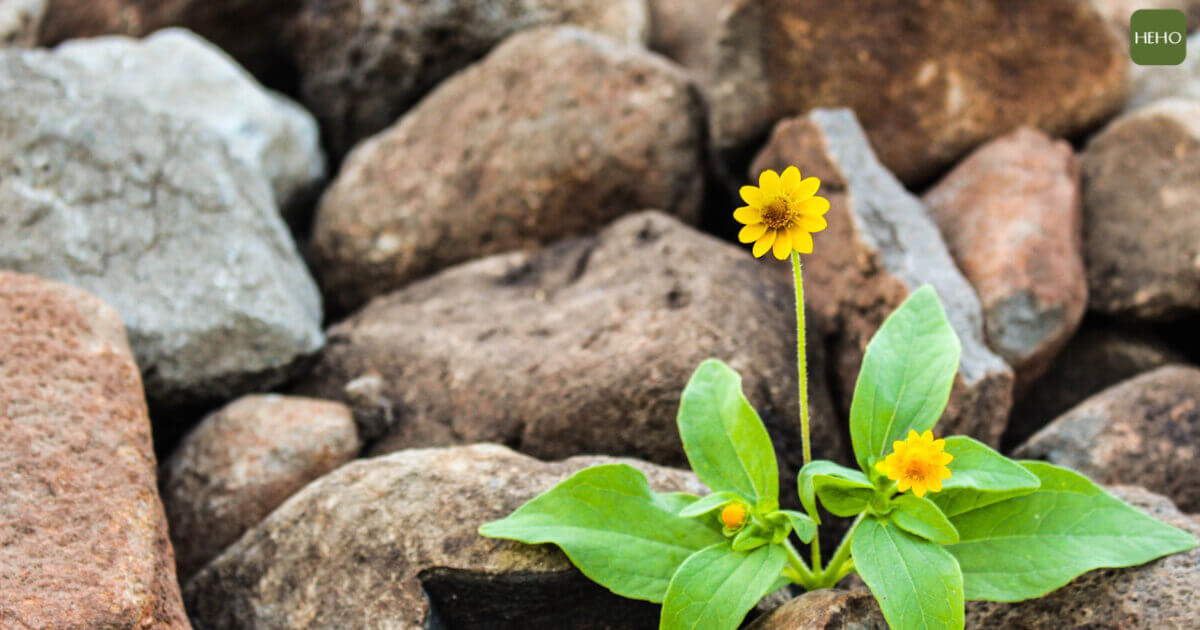 圖片來源:https://www.pexels.com/photo/two-yellow-flowers-surrounded-by-rocks-1028930/